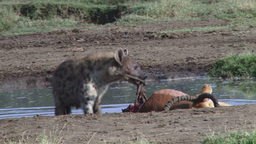 Hyena pulling a kill through water Footage