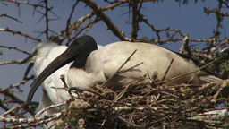 Ibis nesting Footage