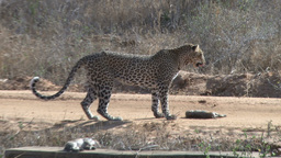 Leopard goes to retrieve his kill from a road Footage