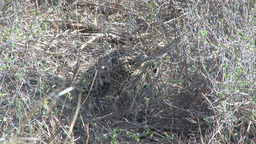 Leopard hidden in tall grass feeding Footage