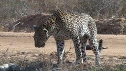 Leopard inspects his kills scartered on the road Footage