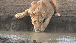Lioness drinking facing the camera Footage