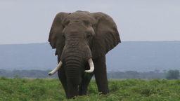 Male elephant Footage