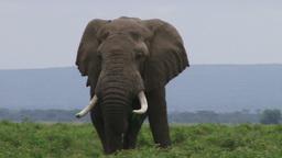 Male elephant Footage