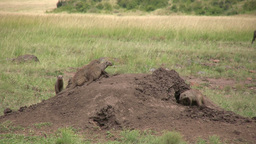 Mongoose making a home in an abandoned anthill Footage
