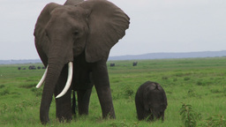 Mother elephant with child Footage