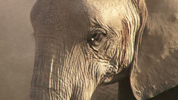 The eye of an elephant Footage