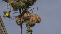 Yellow weavers building a nest Footage