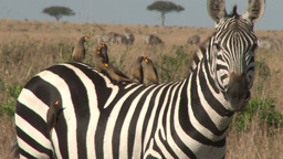 Tick birds resting on the back of a zebra Footage