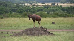Topi and mongoose together on an anthill Footage