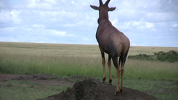 Topi on an anthill Footage
