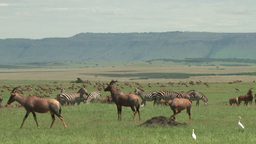 Topis, zebras, all resting together in the plains of mara Footage
