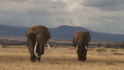Two big elephants walk towards the camera Footage