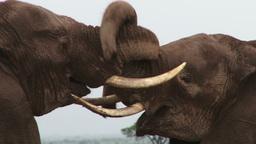 Two elephants intertwine their trunks Footage