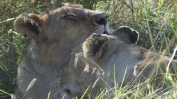 Two female lions cleaning each other Footage