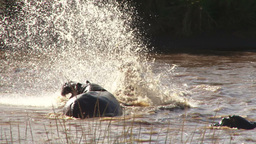 Two male hippos fighting for mating rights Footage