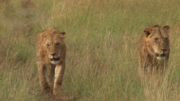 Two young male lions walking Footage