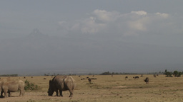 White rhinos with mt Kenya in the background Footage