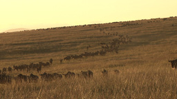 Wildebeests walking down a steep hill Footage