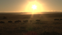 Wildebeests walking under the rays of sunrise Footage