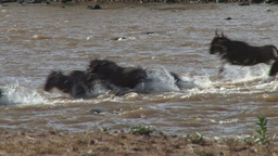 A crocodile swims away from crossing wildebeests Footage