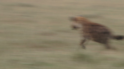 A jackal bites the leg of a hyena and runs away Footage
