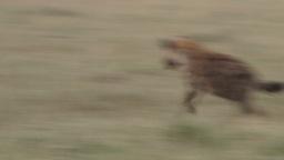 A jackal bites the leg of a hyena and runs away Footage