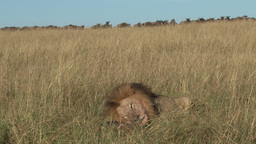 A lion eats a gnu while others look on Footage