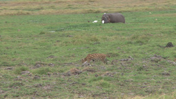 A rare wild cat walks across the camera with hippo in the back ground Footage
