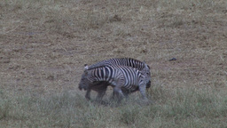A serious fight of zebras Footage