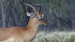 A tick bird on the eye of an impala gazelle Footage