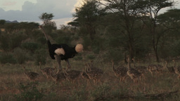 Adult male and female ostriches with many babies Footage