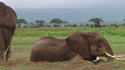 An adult elephant yurns tosleep on the other side Footage