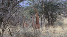 Antelopes standing on two legs to feed Footage