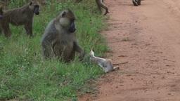 Baboons inspecting a dead dik dik 1 Footage