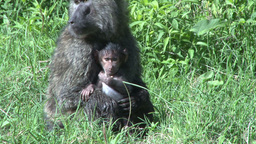 Baboon mother and baby Footage