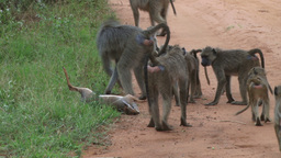 Baboons inspecting a dead dik dik Footage