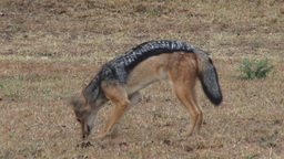 Black backed jackal eating carrion Footage