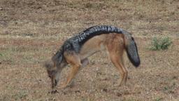 Black backed jackal eating carrion Footage