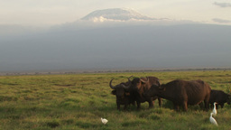 Buffaloes eating with egrets under the shadows of kilimanjaro Footage