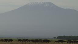 Buffalos walking under the shadows of kilimanjaro Footage