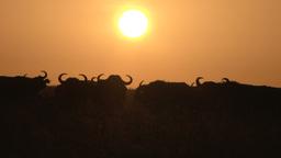 Buffalos in the setting sun Footage