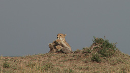 Cheetah and her cubs sitting together on a termite hill Footage