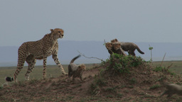 Cheetah climbs a termite hill with her cubs Footage