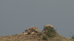 Cheetah mother is groomed by her cubs Footage