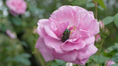 Green Beetle Cetonia Aurata On The Rose Footage