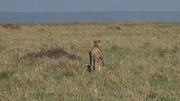 Cheetah walks away with a kill in the mouth 1 Footage