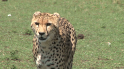 Cheetah walks towards the camera Footage