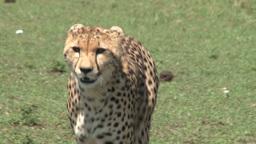 Cheetah walks towards the camera Footage