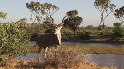 Close up a greater male kudu Footage